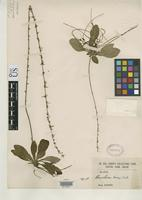 Filed as Ainsliaea henryi Diels, F.L.E. 1900 [family ASTERACEAE]