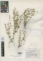 Isotype of Laphamia inyoensis Ferris, R.S. 1958 [family ASTERACEAE]
