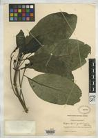 Filed as Blepharidium guatemalense Standley, P.C. 1918 [family RUBIACEAE]