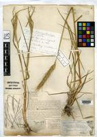 Filed as Elymus brachystachys Scribner, F.L. & Ball, C.R. 1901 [family POACEAE]