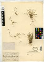 Holotype of Isachne micrantha Merrill, E.D. 1910 [family POACEAE]