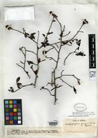 Isotype of Chalepophyllum pungens Standley, P.C. & Steyermark, J.A. 1953 [family RUBIACEAE]