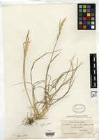 Filed as Trisetum gracile Sodiro, R.P.L. 1930 [family POACEAE]