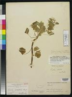 Isotype of Oxalis oulophora Lourteig, A. 2000 [family OXALIDACEAE]