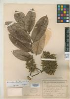 Isotype of Brunellia standleyana Cuatrecasas, J. 1970 [family BRUNELLIACEAE]