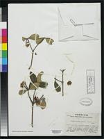Isotype of Ternstroemia landae Standley, P.C. & Williams, L.O. 1950 [family THEACEAE]