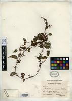 Isotype of Anchietea peruviana Melchior, H. 1924 [family VIOLACEAE]