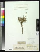 Isotype of Noaea canescens var. glabriuscula Moquin-Tandon, C.H.B. 1849 [family CHENOPODIACEAE]