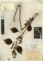 Isotype of Strobilanthes flexus Benoist, R. 1922 [family ACANTHACEAE]
