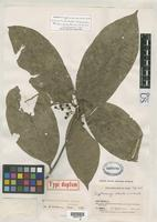 Isotype of Cryptocarya robusta Smith, A.C. 1931 [family LAURACEAE]