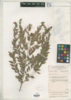 Isotype of Phyllanthus rosselensis Airy Shaw, H.K. & Webster, G.L. 1971 [family EUPHORBIACEAE]