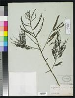 Filed as Piptadenia communis Bentham, G. 1842 [family FABACEAE]