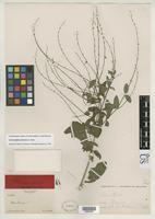 Syntype of Carlowrightia glabrata Fernald, M.L. 1895 [family ACANTHACEAE]