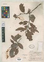 Isotype of Maytenus micrantha Smith, A.C. 1939 [family CELASTRACEAE]