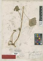 Syntype of Cardamine lyallii Watson, S. 1887 [family BRASSICACEAE]
