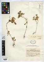 Holotype of Oxalis membranifolia Knuth, R.G.P. 1936 [family OXALIDACEAE]