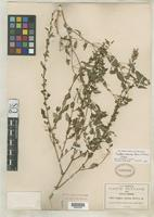 Isotype of Cuphea viscosa Rose, J.N. 1907 [family LYTHRACEAE]