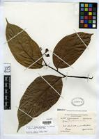Isotype of Cordia protracta Johnston, I.M. 1940 [family BORAGINACEAE]