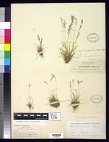 Syntype of Agrostis humilis Hitchcock, A. S. 1935 [family POACEAE]