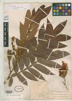 Holotype of Inga donnell-smithii Pittier, H. 1916 [family FABACEAE]