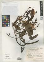 Isotype of Recordoxylon pulcherrimum Barneby, R.C. 1985 [family FABACEAE]