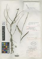 Holotype of Coursetia hintonii Rudd, V.E. 1973 [family FABACEAE]