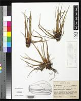 Holotype of Navia piresii Smith, L.B. & et al. 1986 [family BROMELIACEAE]