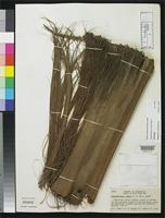 Holotype of Colpothrinax cookii Read, R.W. 1969 [family ARECACEAE]