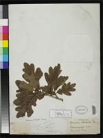 Isotype of Quercus drummondii Liebmann, F.M. 1854 [family FAGACEAE]
