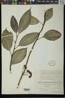 Syntype of Pilea riparia Donnell Smith, J. 1894 [family URTICACEAE]