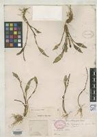 Isotype of Stelis crassilabia Schlechter, F.R.R. 1920 [family ORCHIDACEAE]