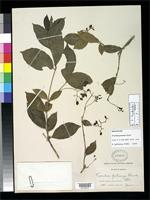 Holotype of Torrubia potosina Standley, P.C. 1916 [family NYCTAGINACEAE]