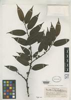 Isotype of Guatteria schomburgkiana var. holosericea Fries, R.E. 1938 [family ANNONACEAE]