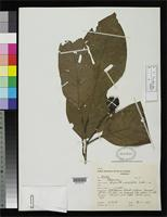 Isotype of Minquartia macrophylla Ducke, A. 1935 [family OLACACEAE]