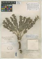 Filed as Ditaxis cyanophylla var. pilosa Tidestrom, I.T. 1941 [family EUPHORBIACEAE]