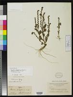 Holotype of Phacelia polysperma Brand, A. 1913 [family HYDROPHYLLACEAE]