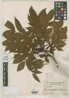 Isotype of Fraxinus platypoda Oliver, D. 1890 [family OLEACEAE]
