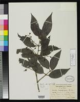 Isotype of Marila domingensis Urban, I. 1929 [family CLUSIACEAE]