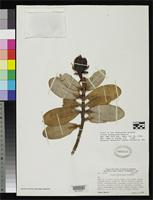 Isotype of Clusia phelpsiana Maguire, B. 1958 [family CLUSIACEAE]