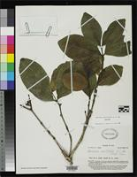 Isotype of Garcinia myrtifolia Smith, A.C. 1950 [family CLUSIACEAE]