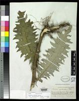 Holotype of Cirsium guatemalense Blake, S.F. 1934 [family ASTERACEAE]