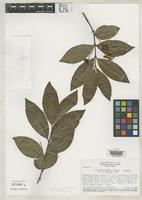Isotype of Psidium persoonii McVaugh, R. 1969 [family MYRTACEAE]