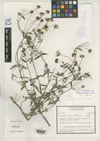 Holotype of Perymenium bishopii Robinson, H. 1983 [family ASTERACEAE]