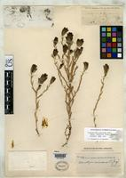 Isotype of Cordylanthus canescens Gray, A. 1868 [family SCROPHULARIACEAE]