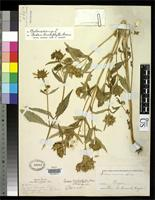 Syntype of Bidens lonchophylla Greene, E.L. 1901 [family ASTERACEAE]