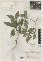 Isotype of Rudgea sessiliflora Standley, P.C. 1930 [family RUBIACEAE]