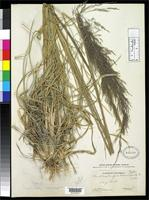 Holotype of Muhlenbergia breviligula Hitchcock, A.S. 1935 [family POACEAE]
