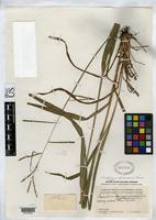 Holotype of Paspalum sparsum Chase, A. 1934 [family POACEAE]