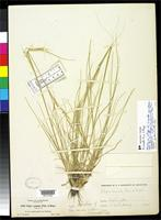 Isotype of Stipa comata subsp. intonsa Piper, C.V. 1906 [family POACEAE]