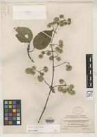 Isotype of Willoughbya globosa Coulter, J.M. 1895 [family ASTERACEAE]